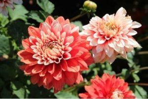 Sheffield florist Dahlias