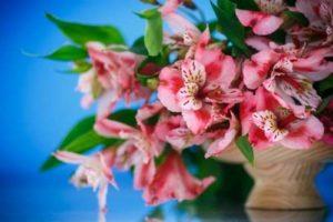 Sheffield florist Alstroemerias